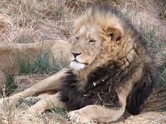 Lwe_8 (@ FS Images) Tags: lwe langemhne liegend rudelfhrer canon eos 600d outdoor landschaft natur raubtier rudel sdafrika safari tiere lwen