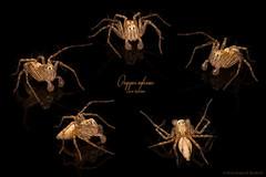 Lynx Powwow (zxgirl) Tags: bug bugs animal animals animalia arthropod arthropods arthropoda chelicerate chelicerates chelicerata arachnid arachnids arachnida spider spiders araneae araneomorphae entelegynes lynxspider lynxspiders oxyopidae oxyopes oxyopesaglossus taxonomy:binomial=oxyopesaglossus mybackyard onblack multishot composite