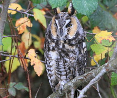 I'm all ears.... :)        Explored! (Paridae) Tags: longearedowl owl asiootus familystrigidae birdsofbritishcolumbia birdsofboundarybay thingswithwings afewofmyfavouritethings featheredfriends