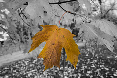 Maple leaf selective (sw_bobster) Tags: maple selectivecoloring