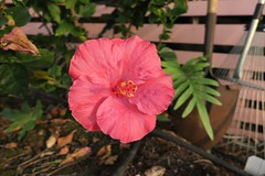 pink hibiscus at sunset (BarryFackler) Tags: flower bloom plant garden home captaincookhi pistil stamen floral botanical life organism tropical southkona vegetation gardening petals captaincook botany horticulture biology captaincookhawaii ecology flora leaves rake shovel hibiscus barryfackler kona hawaiiisland bigisland sandwichislands polynesia barronfackler 2016 hawaii hawaiicounty hawaiianislands westhawaii outdoor