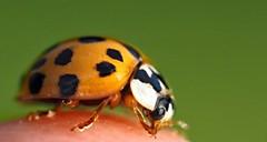 monsterbug (explored) (Simple_Sight) Tags: ladybug ladybird marienkäfer points orange green macro closeup bug insect käfer insekt garden garten explore monsterbug buggy outdoors red