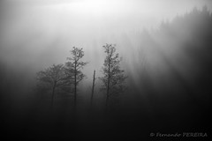 Arbres & brumes (Fernando.P.Photo) Tags: arbre brume contrejour leversoleil matinal paysage flickrunitedaward trees backlight mist landscape sunrise light sunlight