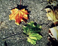 more sidewalk leaves (Mark.Swanson) Tags: maple sugarmaple acer saccharum acersaccharum sidewalk