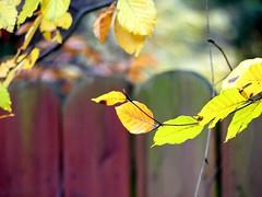 HFF (BrigitteE1) Tags: hff herbst autumn fall light bokeh fence dof flickr outdoor zoorostock fencedfriday fencephotography fencefriday fences bokehanddof color buchenblätter beechleaf pov colours danceoflight lumineuse
