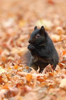 Écureuil  -  Squirrel