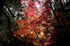 Momiji (ababhastopographer) Tags: nara kasugayama mtkasuga yagyuroad maple acerpalmatum gradation shadowplay      kasuga