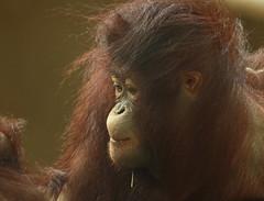 orangutan ouwehands JN6A6833 (j.a.kok) Tags: orangutan orangoetan orang mensaap primaat primate aap ape monkey ouwehands ouwehand ouwehandsdierenpark ouwehandszoo