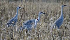 Sandhill Crane  (Grus canadensis) (jageshwarb2) Tags: sandhillcranes gruscanadensis nature bird somersetcounty wildlife nikon cranes sandhill cornfield fantasticnature fantasticwildlife