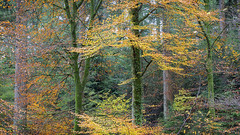 Sentinels (mcb photography) Tags: sentinel wales cymru wood woodland forest autumn fall season trees colour mikebarber mcbphotography wwwmcbphotographycouk