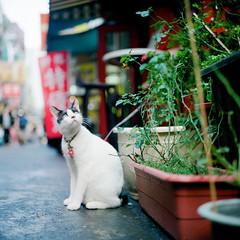 (有喵的生活) Tags: rolleiflex 28e carl zeiss rolleinar portra800 kodak tlr 120 6x6 square 負片 taiwan taipei portrait bokeh light cat kitty animals cafe eye 貓 喵 阿寶 異瞳 異眼 眼