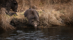 All The Fat (rishaisomphotography) Tags: kodiak alaska brownbear grizzly cub fuzzy furry fat babyanimal water drink river nature naturephotographer wild wildlife wildlifephotography knwr mammal carnivore omnivore cute predator sow