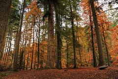 Autumn in the  Hermitage Dunkeld (Seb_ND) Tags: hermitage dunkeld autumn wood