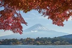 Autumn Fuji (peaceful-jp-scenery (busy)) Tags: mtfuji lakekawaguchi autumn leaves leaf maple momijitunnel fuji5lakes kawaguchiko          sony 7r a7r ilce7r amount sal2470z variosonnart2470mmf28za carlzeiss laea4
