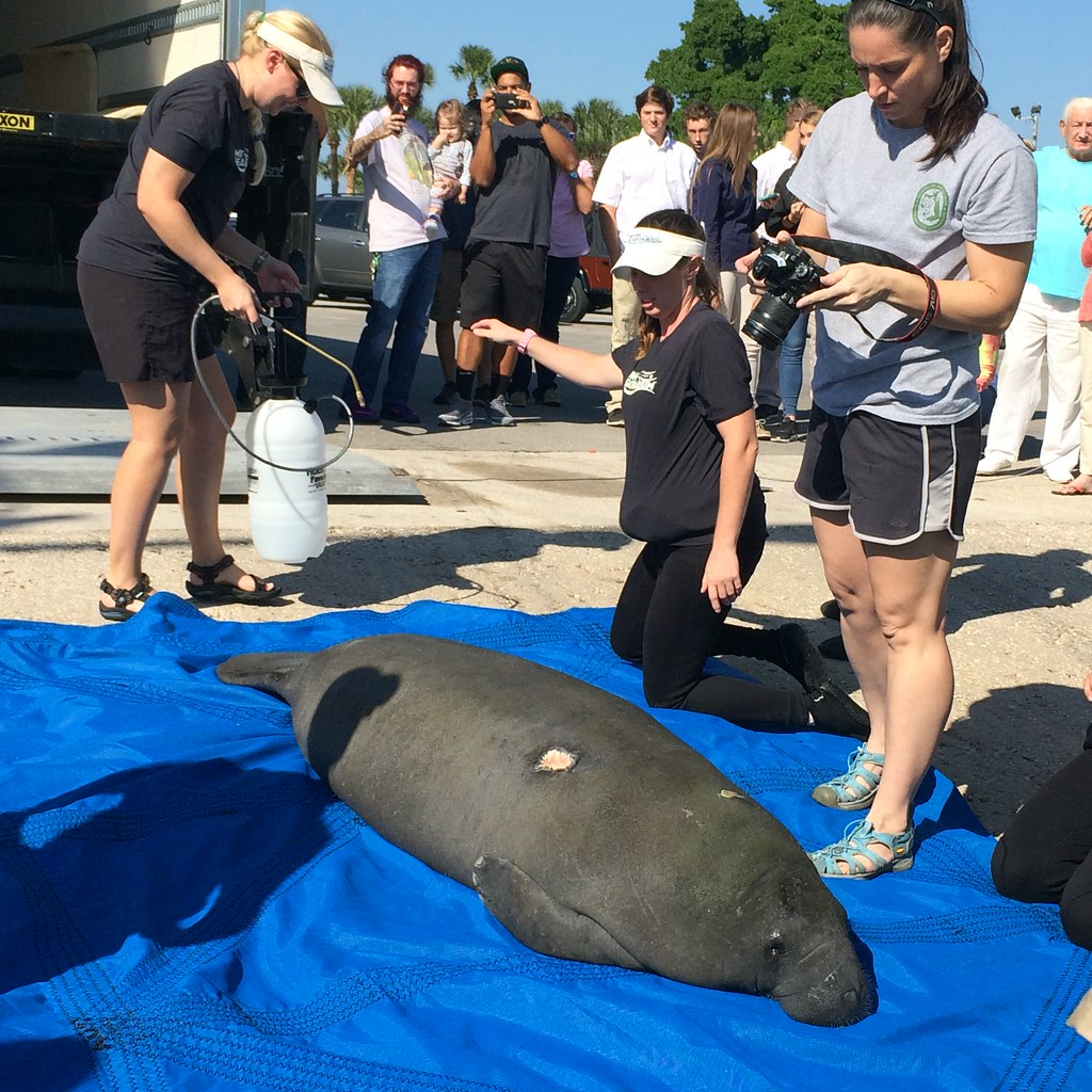 manatee research paper Research article open access chromosome painting in the manatee supports  afrotheria and paenungulata margaret e kellogg, sandra burkett, thomas r.