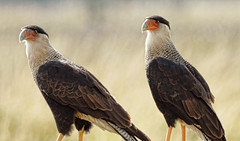 Another Pair o' Caracara (smithland) Tags: her exceptional image jt