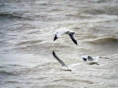 Herring Gull (Larus argentatus) (Lana Pahl / Country Star Images) Tags: birdsofeasternusa birdsoftheeast wildbirdsofnorthamerica lakeside ohioohios lake erie shores islands