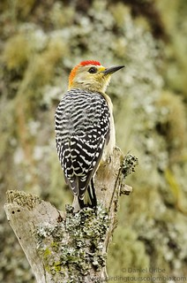 Red-crowned Woodpecker (male) / Melanerpes rubricapillus / Carpintero Habado (macho)