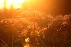 Golden hour (StefanFritz) Tags: weed golden hour goldenhour stefanfritz sunset beautiful