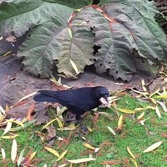Bob The Crow (Marc Sayce) Tags: bob the crow corvid rook raven jackdaw bird corvidae video