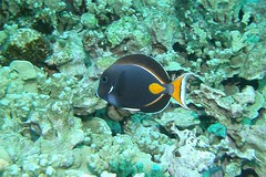 fish/styx (BarryFackler) Tags: acanthurusachilles fish vertebrate achillestang pakuikui tang achillessurgeonfish surgeonfish aachilles honaunau hawaii hawaiidiving hawaiicounty honaunaubay hawaiiisland bigisland hawaiianislands undersea underwater southkona scuba sea sealife sealifecamera seacreature sandwichislands saltwater 2016 marine marineecology marinelife marineecosystem marinebiology coral tropical ecology animal aquatic ocean reef creature diver fauna konadiving water westhawaii organism pacificocean nature bay biology bigislanddiving being zoology diving dive kona konacoast barryfackler barronfackler life polynesia outdoor island pacific coralreef