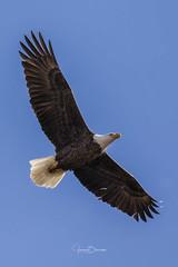 BC Male Bald Eagle 7 (Jason Blalock) Tags: haliaeetusleucocephalus eagle baldeagle raptor bird birdofprey americanbaldeagle berryeagle berrybaldeagle berrycollegeeagle berrycollegebaldeagle