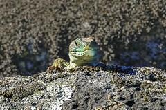 Lagarto ocelado (elsiete60) Tags: lagarto reptiles ocelado lacerta lepida timon lepidus panasonic dmcfz1000