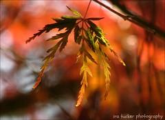 Ah, yes, autumn, when the trees blush... (itucker, thanks for 2.8+ million views!) Tags: macro bokeh hbw sieryu leaf fall autumn backlight dukegardens acer maple japanesemaple