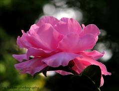 Grandchildren don't make a man feel old.... (itucker, thanks for 2.6+ million views!) Tags: camellia hybridcamellia macro bokeh pink hppt roseofautumn raulstonarboretum