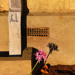 Last One (WHO 2003) Tags: polesdenlacey flower drain drainpipe grill nerine