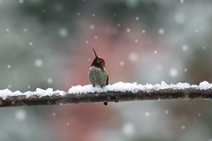 snow day-0682 (lynne186) Tags: hummingbird snow nature wildlife bokeh branch winter