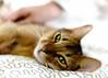 Skillful grooming. Very well. (miyukiz4 ɥsıןƃuǝ ɹood) Tags: cats cat kitten котенок gttino chaton gatito kätzchen gatinho