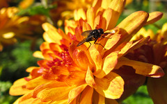 Fly (DanielaC173) Tags: fly insect flower chrysanthemum autumn november yellow muscidae hebecnema