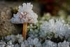 Die Eislast hat noch einmal zugenommen.... aber er hält sich tapfer :-) (AchimOWL) Tags: eis schnee reif gx80 pilz schärfentiefe natur nature lumix dmcgx80 olympus organisches muster ngc macrodreams mushroom fungi textur outdoor stack minipilze nrw deutschland heiter postfocus