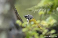Buff-throated Saltator (Saltator maximus) (Gmo_CR) Tags: saltatormaximus buffthroatedsaltator saltatorgorgianteado chayotero chojui comepuntas sinsonteverde costarica coronado patiodeagua