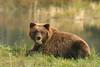 Young Brown Bear Grazing (AlaskaFreezeFrame) Tags: grizzly brownbear grizzlybear bears bruin claws alaska canon alaskafreezeframe summer outdoors wildlife animals nature dangerous ursusarctoshorriblis silvertip mammal carnivore