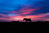 New Forest pony silhouetted walking in front of sunset (Ian Redding) Tags: england newforest uk blowing colourful evening horse mane nationalpark nature newforestpony ponies pony shape silhouette silhouetted sky standing stoneycross sun sunset walking wild wilderness wind landford unitedkingdom gb