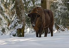 Bisonte Europeo (marypink) Tags: bayerischerwaldnationalpark germania germany forest bisonbonasus mammalia bovidae bovinae wisent snow winter nikond7200 nikkor80400mmf4556
