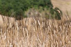 I rigogliosi campi di grano (Vito Galgano) Tags: wheat grano orata escursione calitri