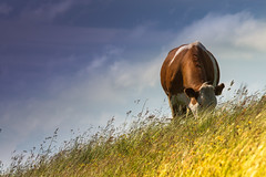 Cow on a hill (jillyspoon) Tags: grass cow eating hill diagonal