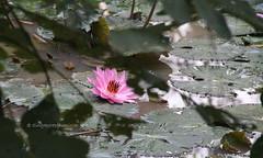 IMG_4305 (singaporeplantslover) Tags: nymphaea   lotus