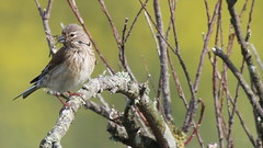 Linotte mlodieuse, Af (R, 2014-05-04_31) (th_franc) Tags: oiseau linottemlodieuse