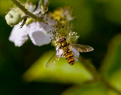 Hoverfly (Ivan Lynas Nature Photography) Tags: