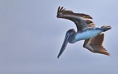 Galapagos-20140714-1641-BK2W3657-Edit (Swaranjeet) Tags: pelican pelicans galapagos ecuador bird largebirds july2014 canon fullframe 1dx eos1dx dslr sjs swaran swaranjeet swaranjeetsingh sjsvision sjsphotography swaranjeetphotography 2014 eos canoneos1dx 35mm ef pro 200400 canonef200400mm canonef200400mmf4lisusm14x singh photographer thane mumbai india indian