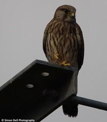 kestrel (Simon Dell Photography) Tags: bird sheffield prey kestrel bod kez 2015 s12 hackenthorpe