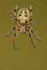 Larinioides cornutus (henk.wallays) Tags: macro nature closeup spider europa belgium wildlife arachnid spin natuur location 1999 westvlaanderen date arthropoda aaaa araignée vlaanderen araneidae arachnidae bellem larinioidescornutus rietkruisspin henkwallays kanaalbermenbellem
