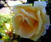 MEMORABLE ROSE (swetlanahasenjäger) Tags: rose doublefantasy parfüm blütenträume macroelsalvador exquisiteflowers waterdropsmacros saariysqualitypictures thebestofmimamorsgroups coth5 mixofflowers esenciadelanaturaleza frommetoyouwithlove rosesforeveryone sunrays5 nature'splus сoth