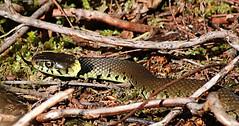 grass snake (Natrix natrix_ (spencerrushton) Tags: wood sun holiday nature beautiful digital canon outdoors zoom snake walk spencer 70300mm nationaltrust flick grasssnake hoilday rushton canonlens natrixnatrix canonef70300mmf4056isusm spencerrushton 760d canon760d