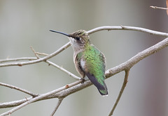 Rainy Day Nectar (rickdunlap2) Tags: bird animal female hummingbird rainy migration rubythroated