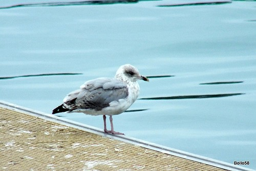 Herring Gull [3rd yr] - St Peter Port, Guernsey 15-09-2015 16-51-17